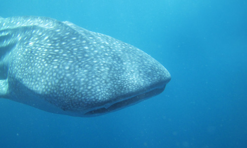 Whale Shark 1